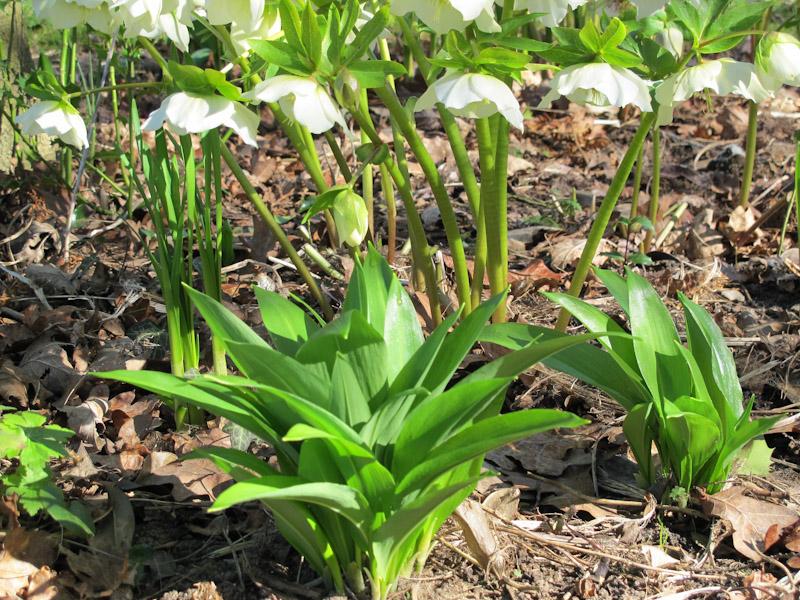 Allium ursinum-28