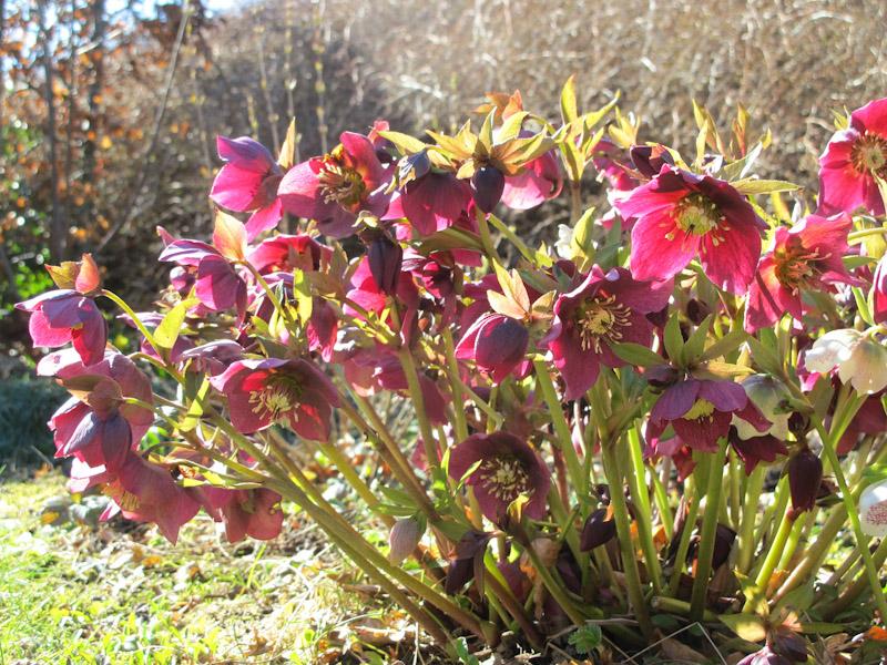 Helleborus orientalis-86