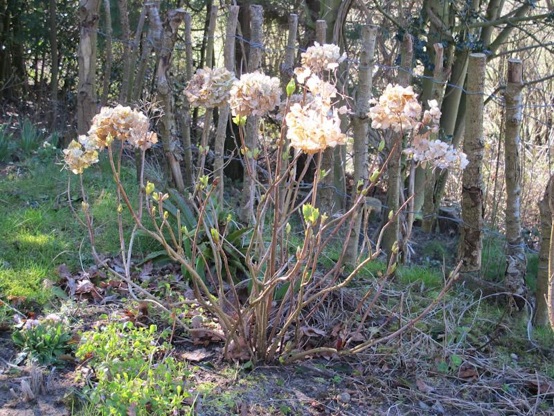 Hydrangea macrophylla-115
