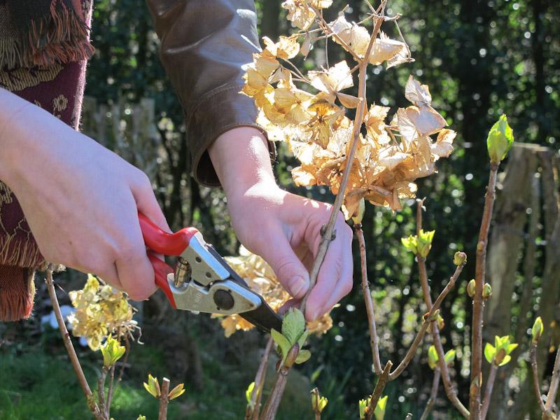 Hydrangea macrophylla-116