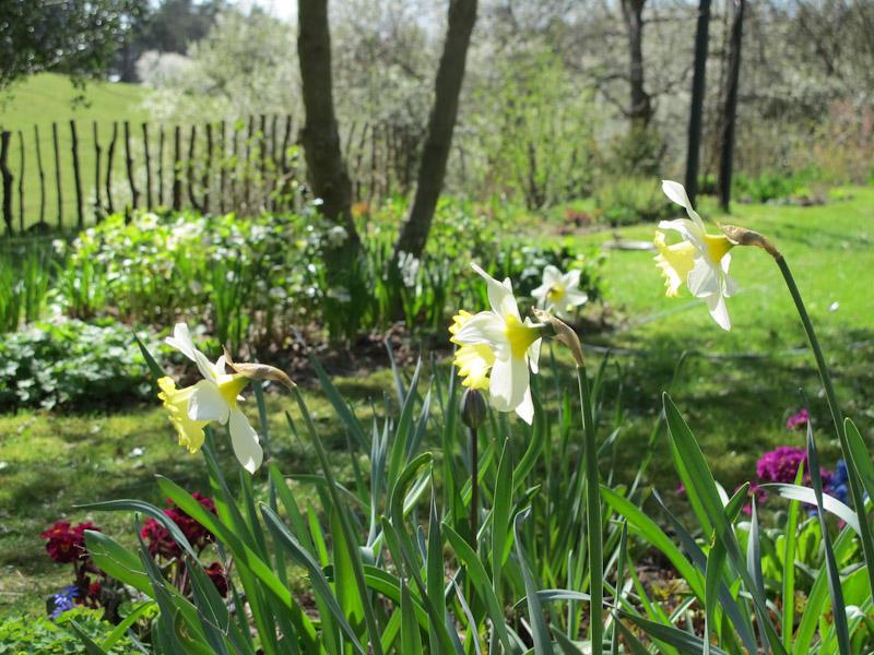 Narcissus-3