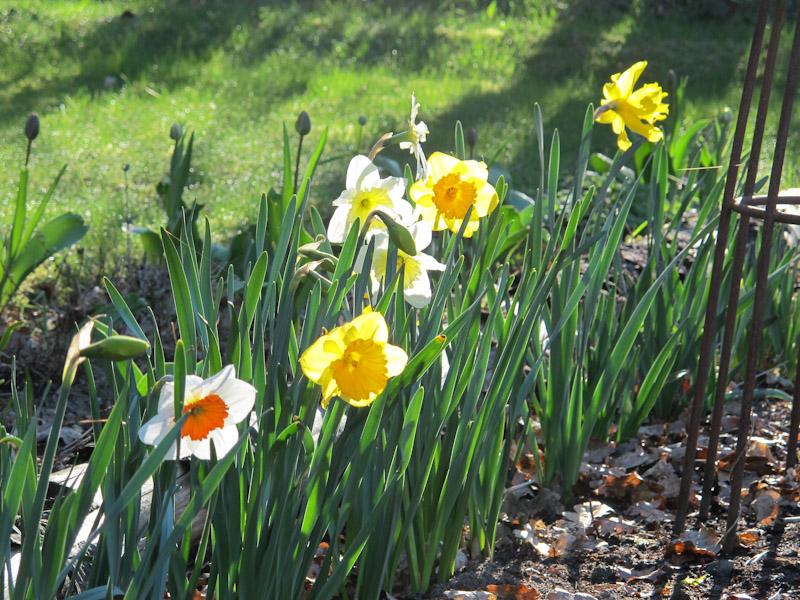 Narcissus-39