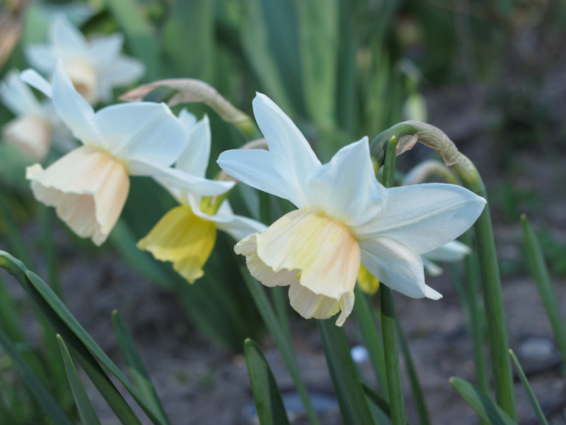 Narcissus Katie Heath-16