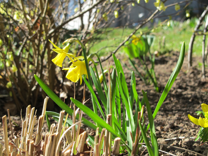 Narcissus Tete a Tete-24