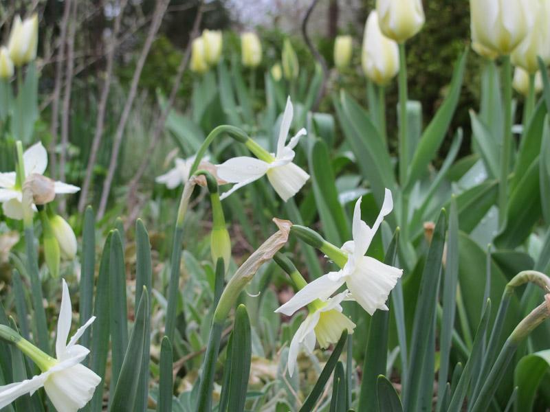 Narcissus Thalia-26