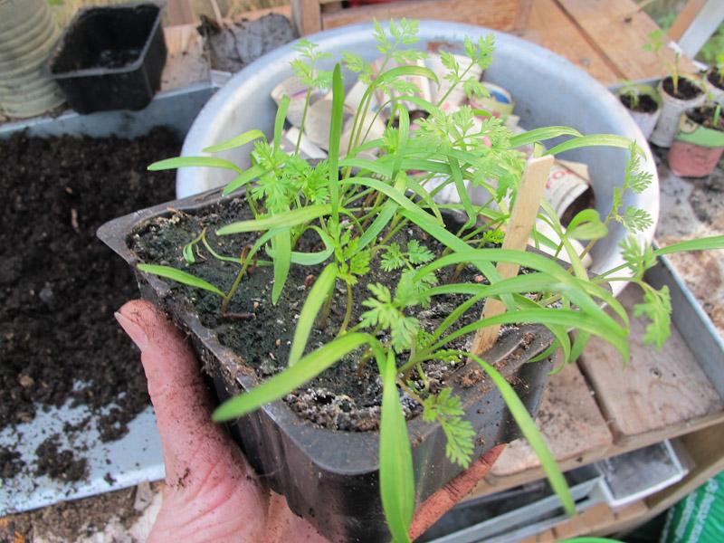 Orlaya grandiflora-210
