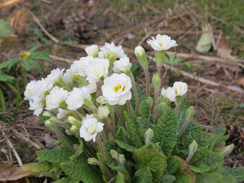 Primula Belarina Cream-1
