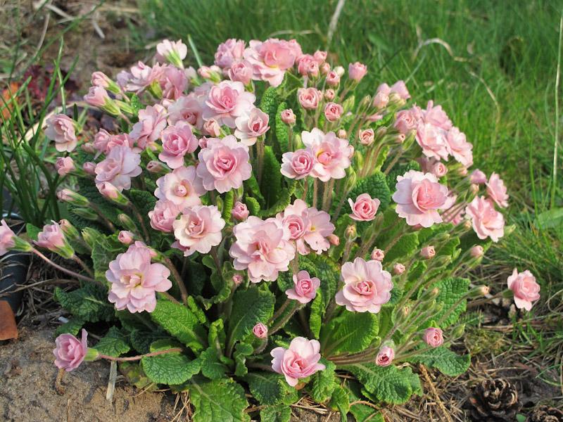 Primula Belarna Pink Ice-1