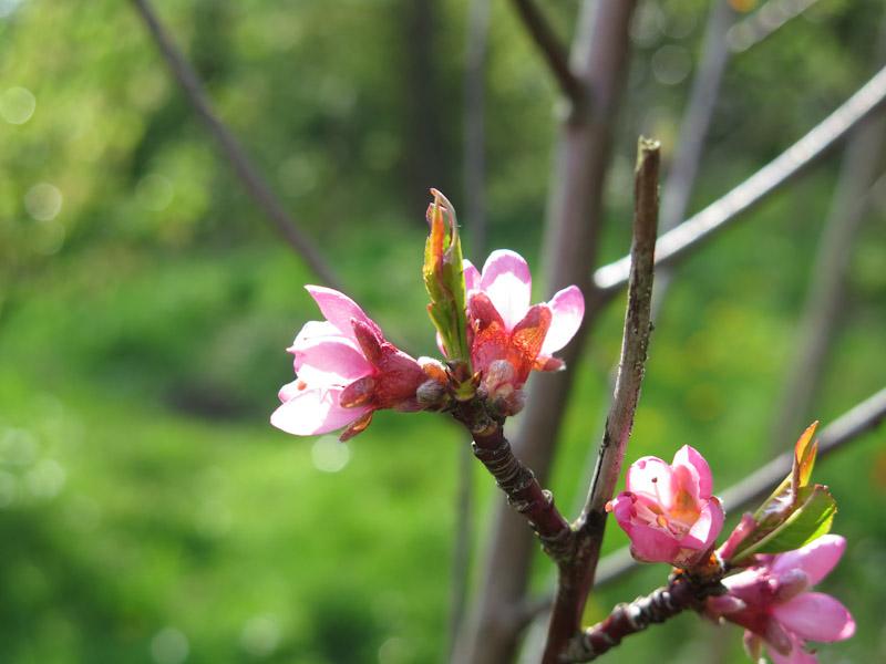 Prunus persica Frost-13