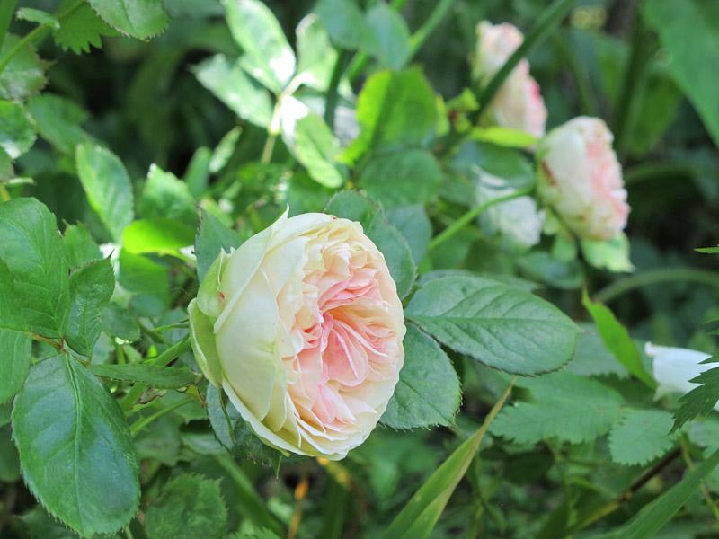 Rosa Pastella-4