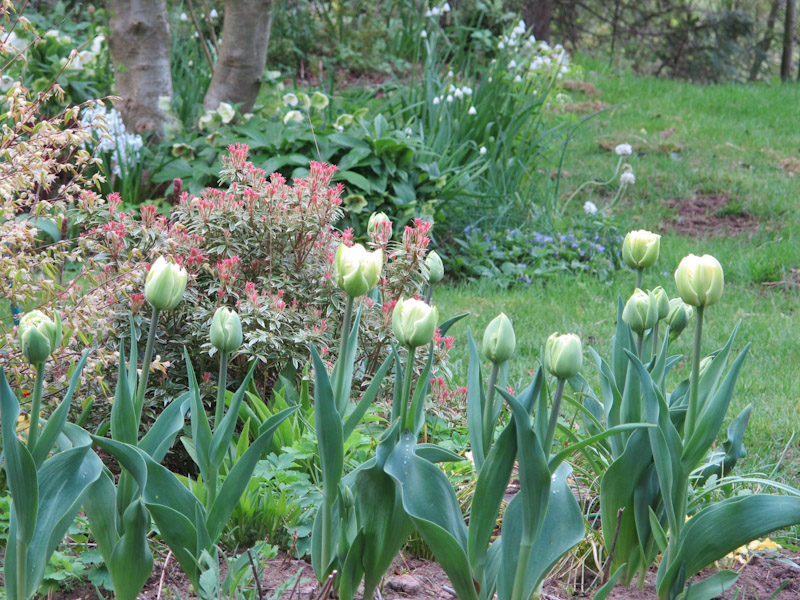 Tulipa Verona-29