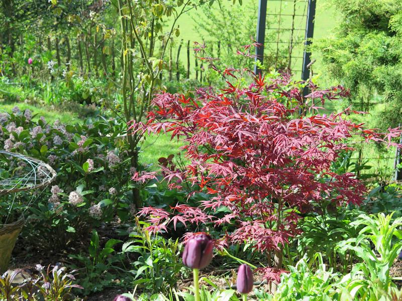 Acer palmatum-23
