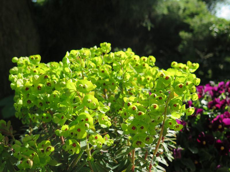 Euphorbia amygdaloides-1