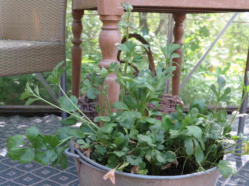 Ranunculus asiaticus-15