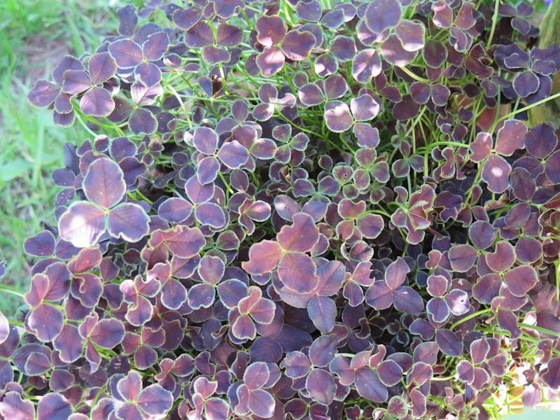 Trifolium repens Dark Debbie-6