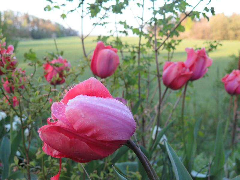 Tulipa Apricot Impression-16