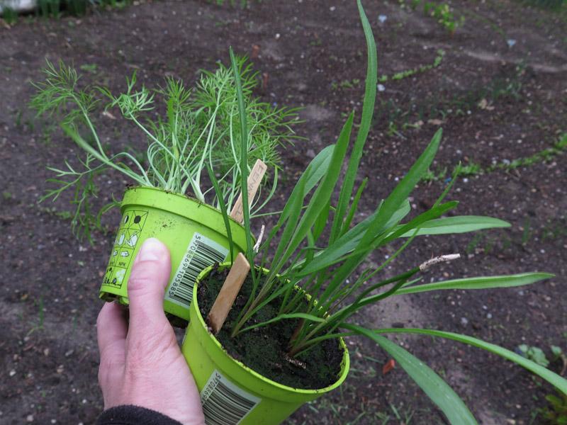 Udplantningsplanter-5