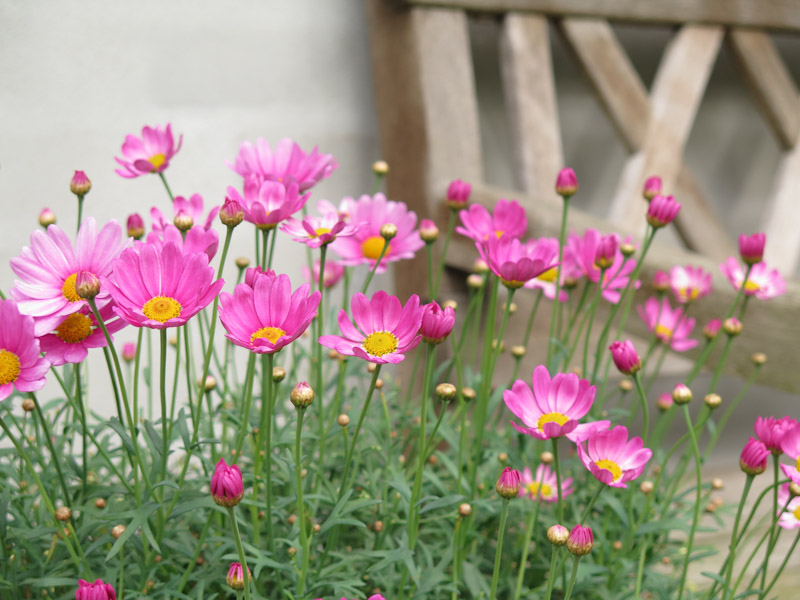 Argyranthemum frutescens-5