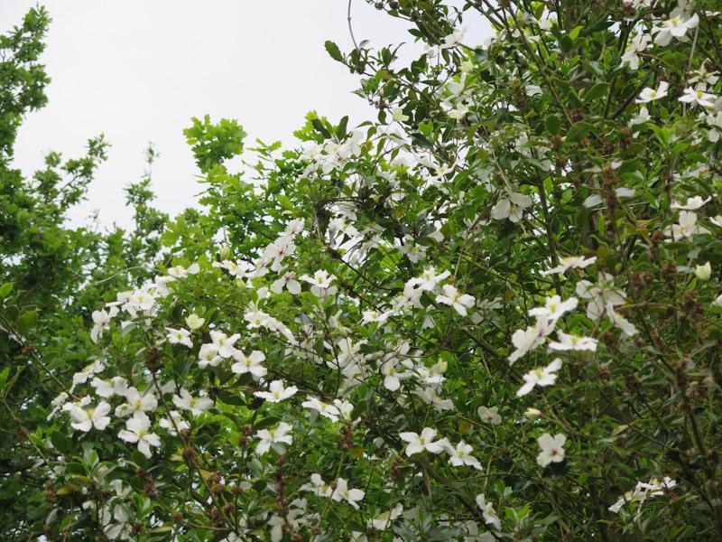 Clematis montana Grandiflora-27
