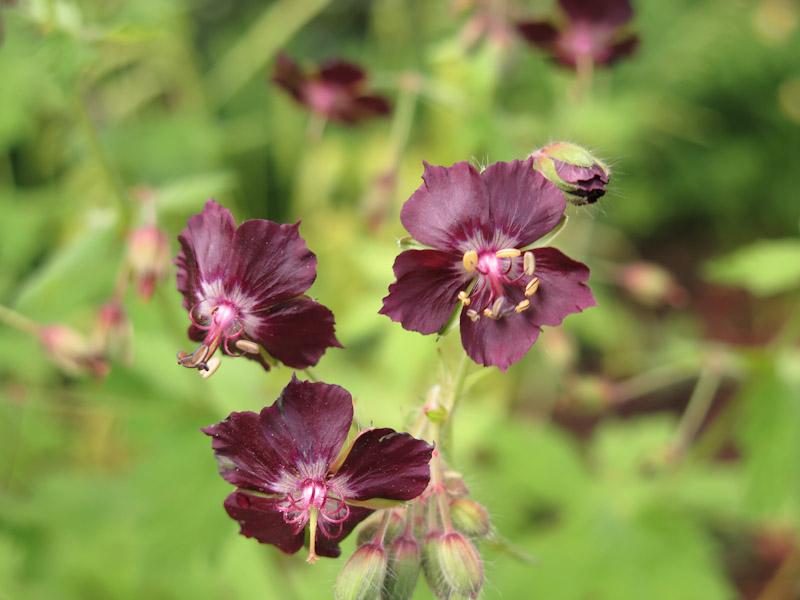 Enkelt geranium