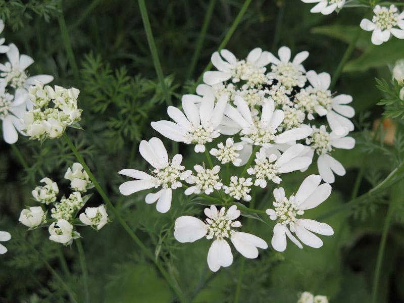 Orlaya grandiflora-36