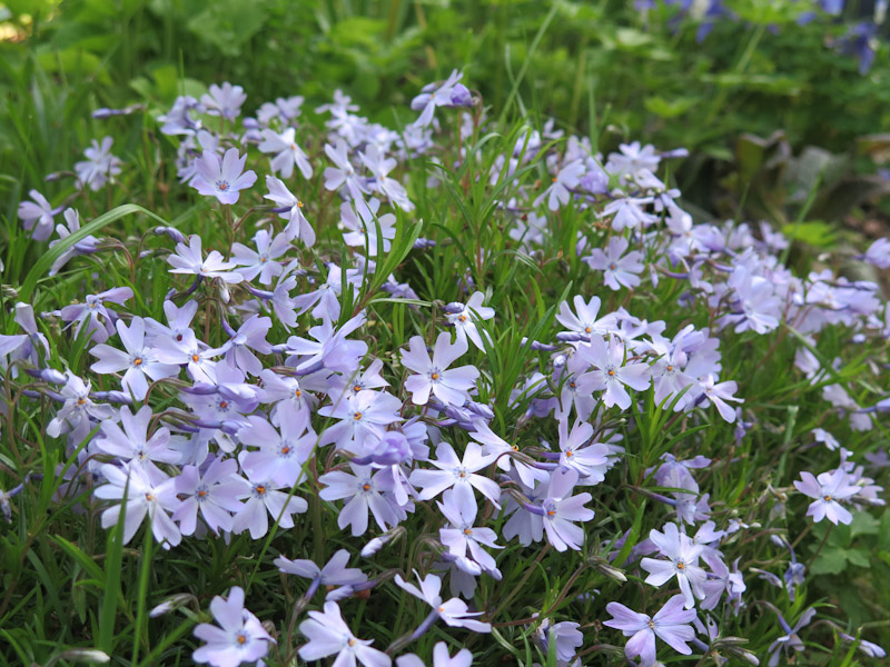 Phlox subulata Emerald Cushion-7