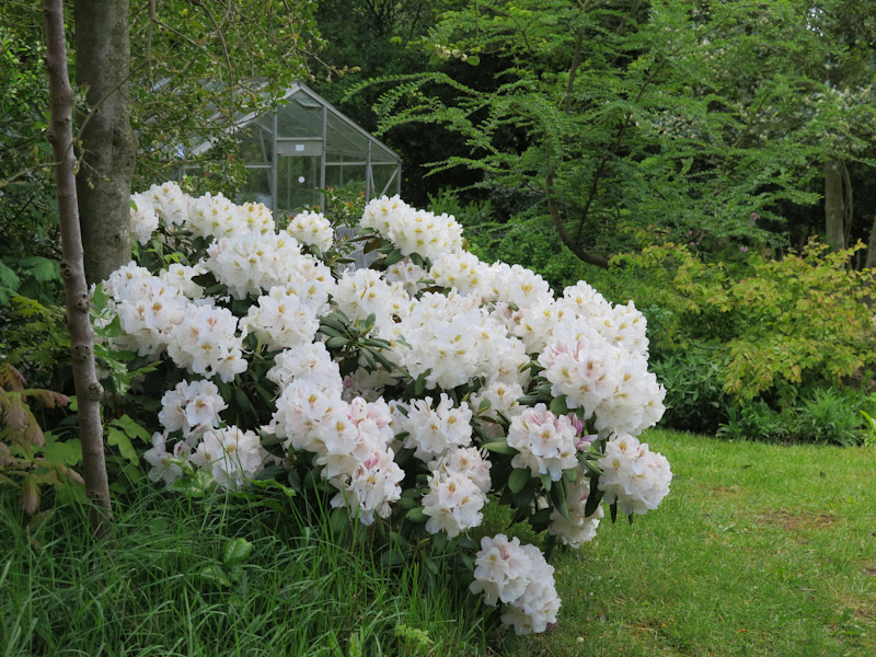 Rhododendron-28