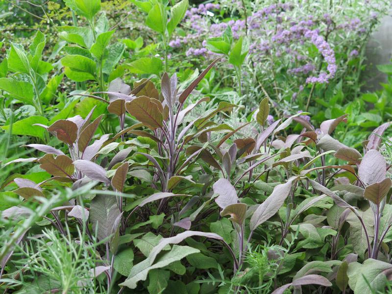 Salvia officinalis-7