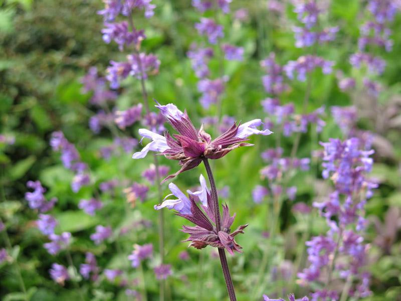 Salvia officinalis-8