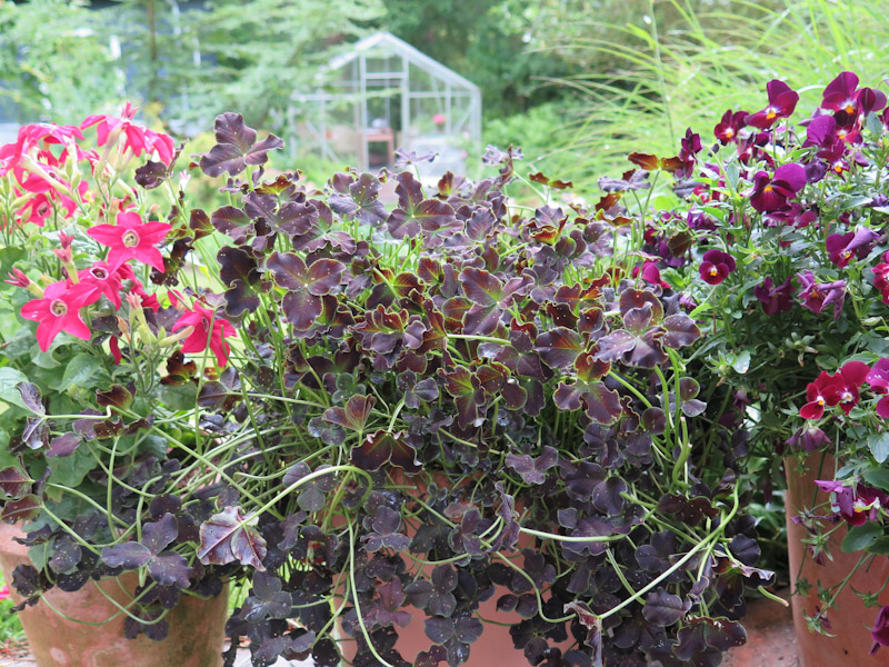 Trifolium Dark Debbie-2