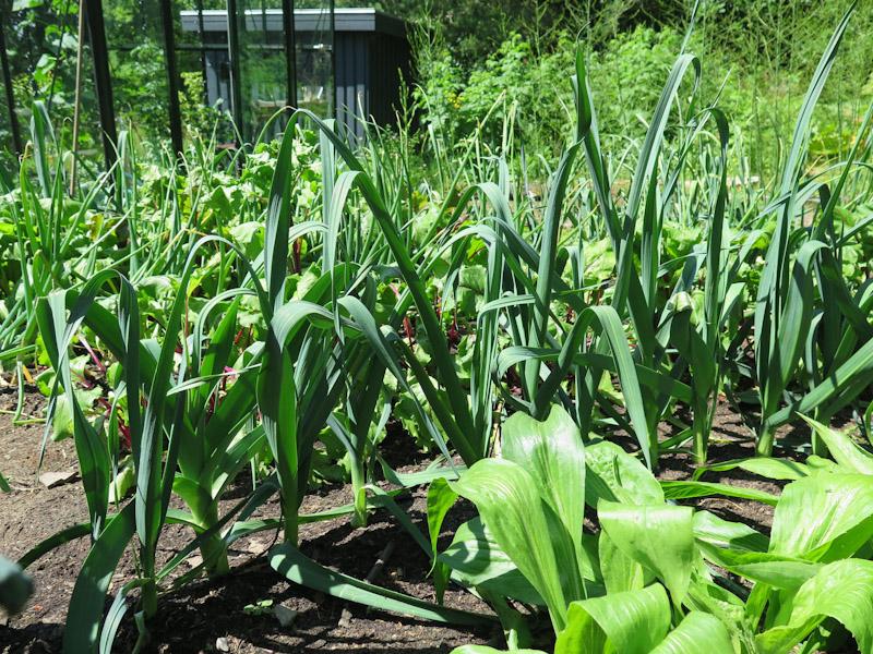 Allium porrum 15-13