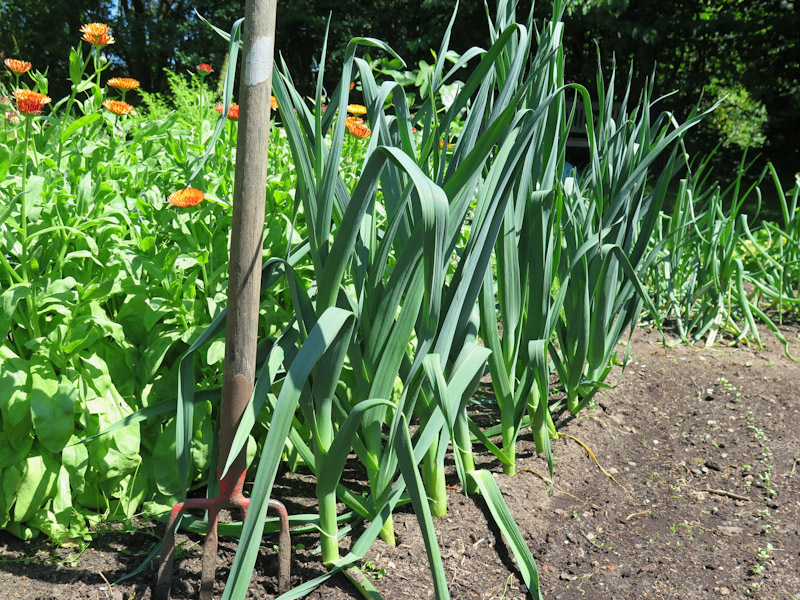Allium porrum 15-7
