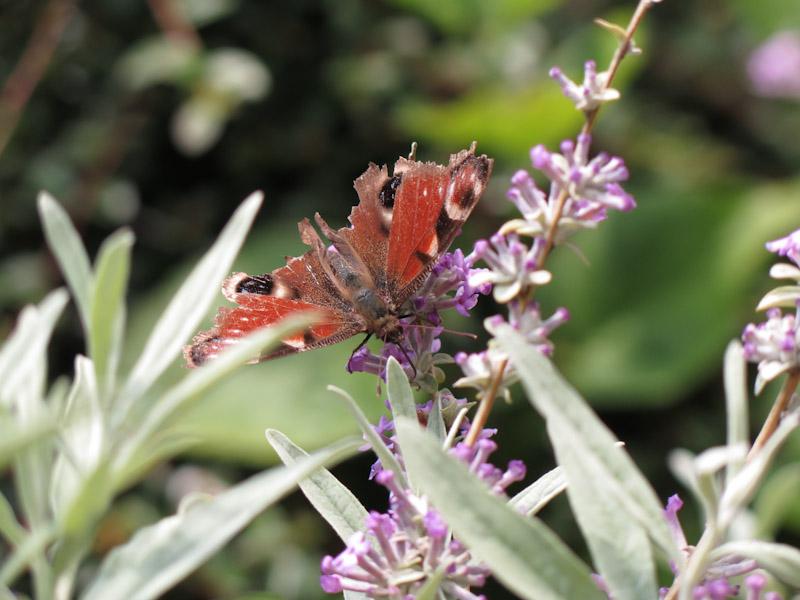 Buddleja alternifolia-15