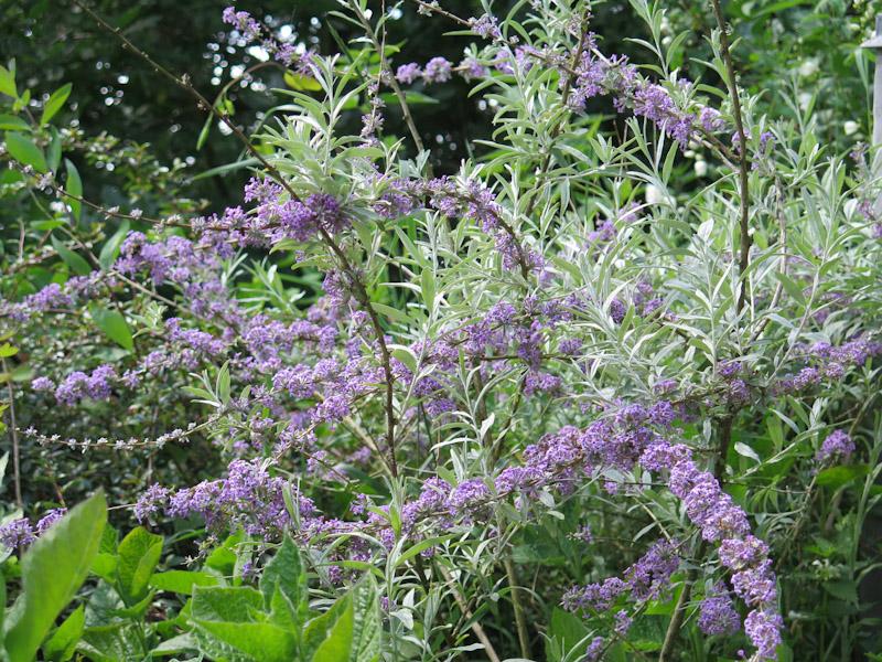 Buddleja alternifolia-16