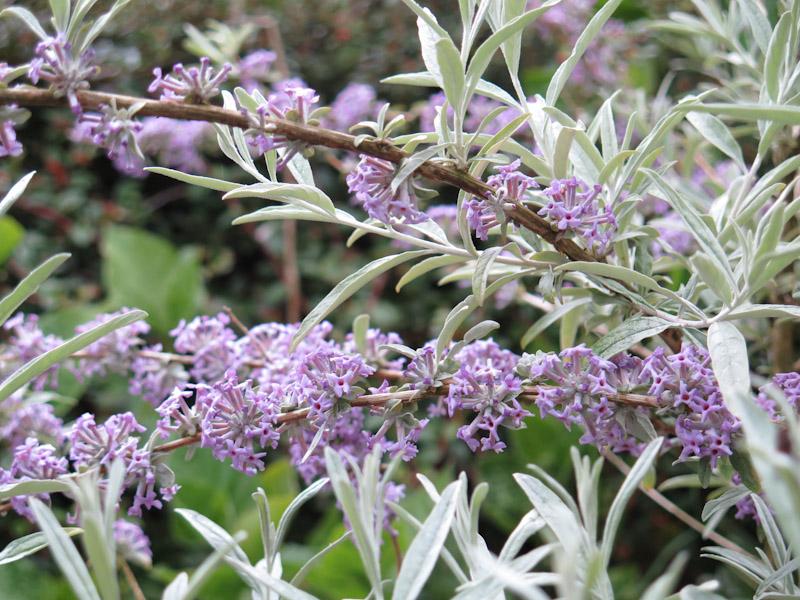 Buddleja alternifolia-17