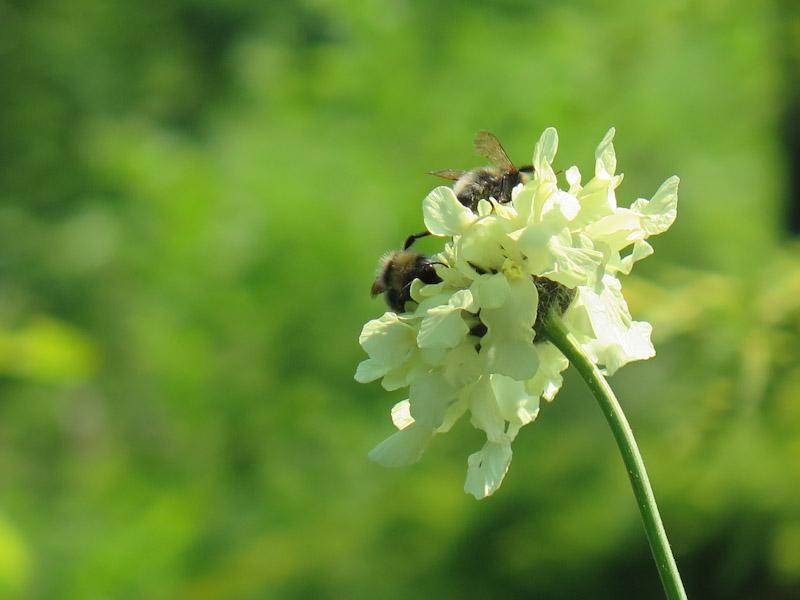 Cephalaria gigantia-20