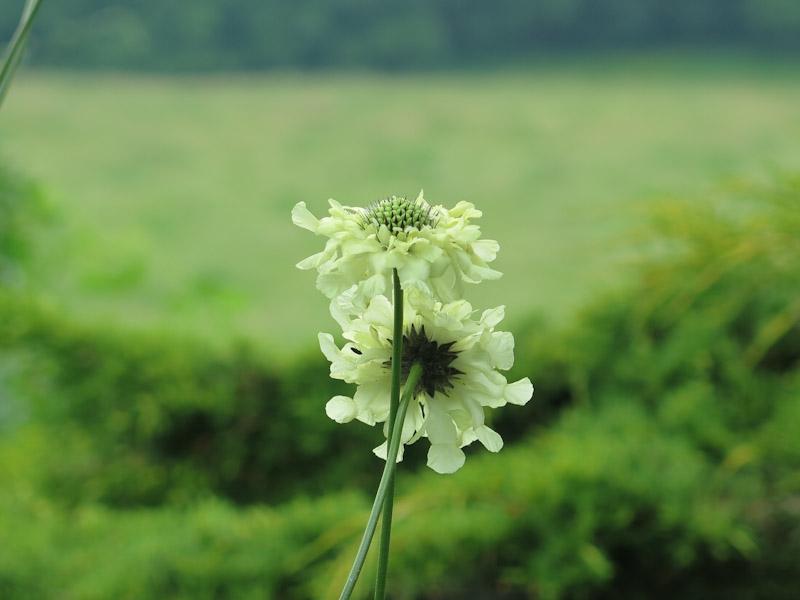 Cephalaria gigantia-22