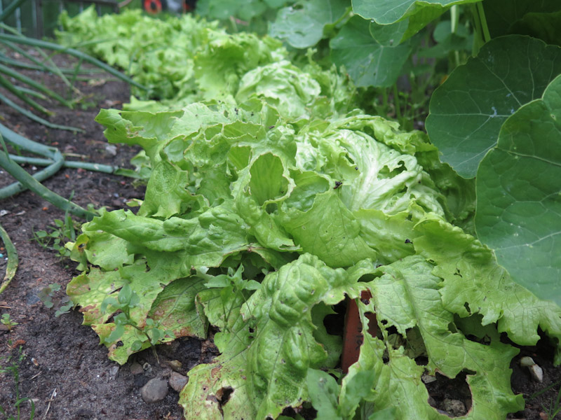 Dræbersnegle i salat-14