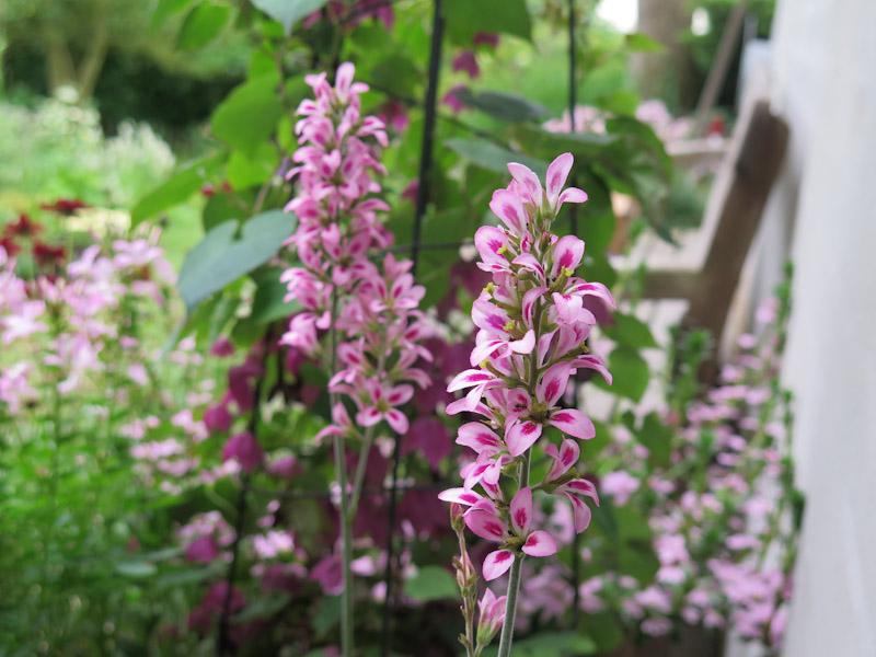 Francoa sonchifolia Pink Giant-5