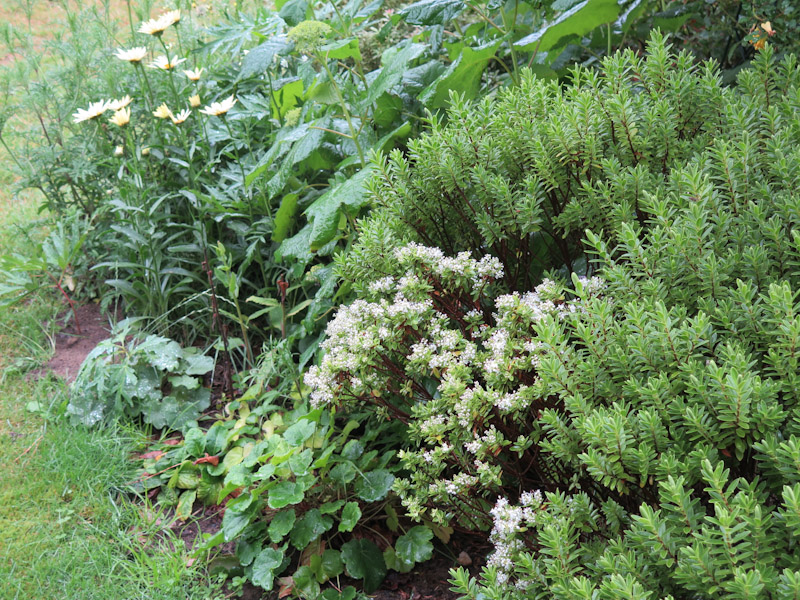 Hebe pinguifolia-1