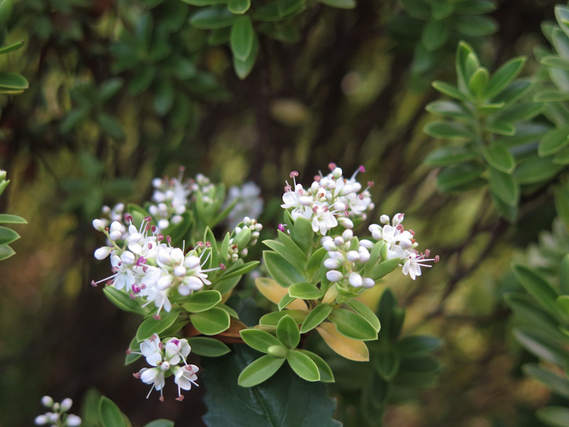 Hebe pinguifolia-2