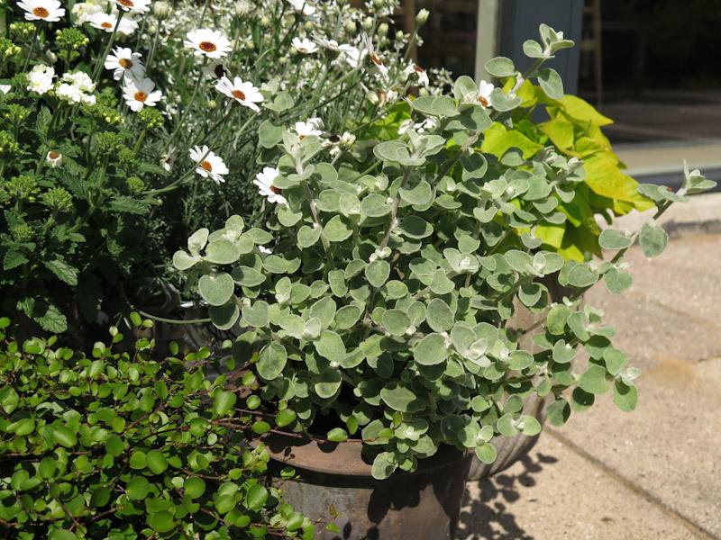 Helichrysum petiolare-8