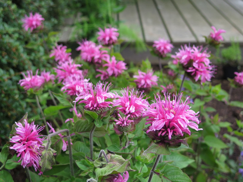 Monarda Pink Lace-1