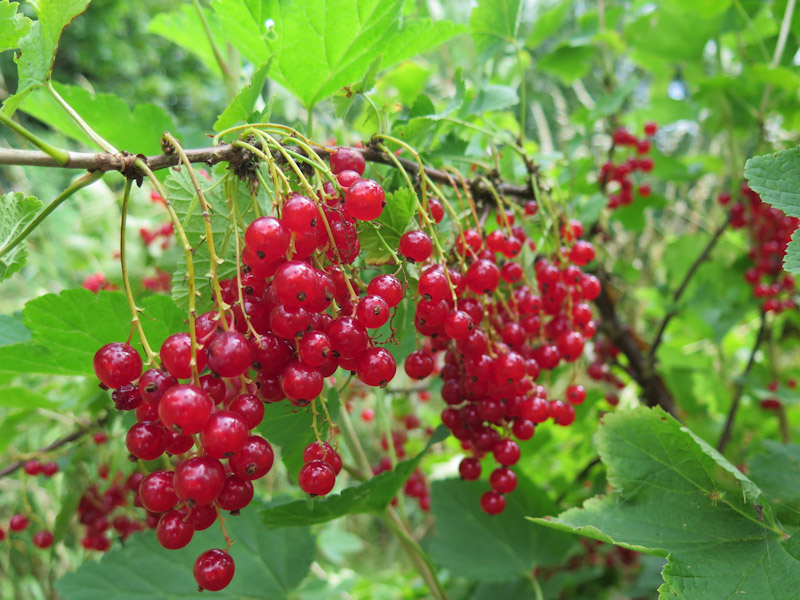 Ribes rubrum-326