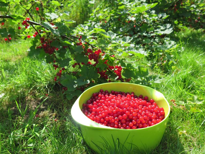 Ribes rubrum-357