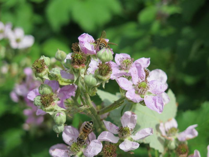 Rubus plicatus-14