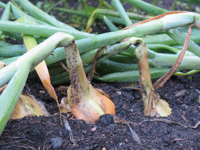 Allium cepa -332