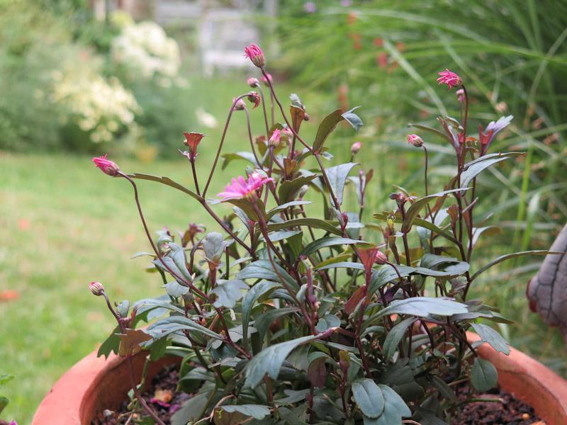 Brachycome Strawberry Pink-15