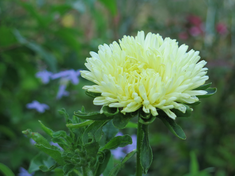 Callistephus chinensis 'Gala Yellow'-2