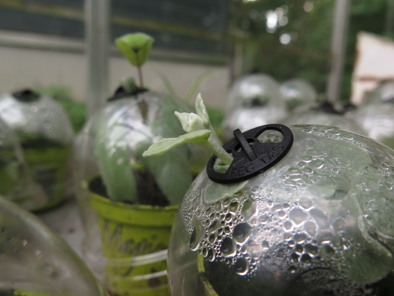 Helichrysum petiolare-417